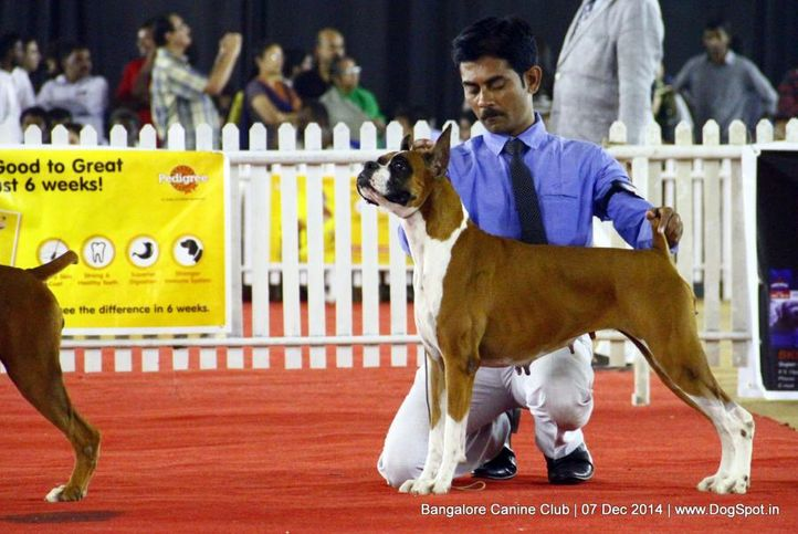 boxer,ex-242,sw-138,, Bangalore Canine Club 2014, DogSpot.in