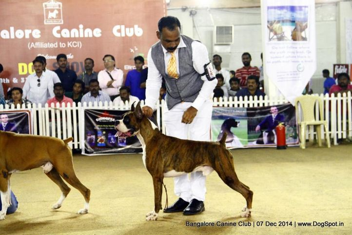 boxer,ex-243,sw-138,, Bangalore Canine Club 2014, DogSpot.in