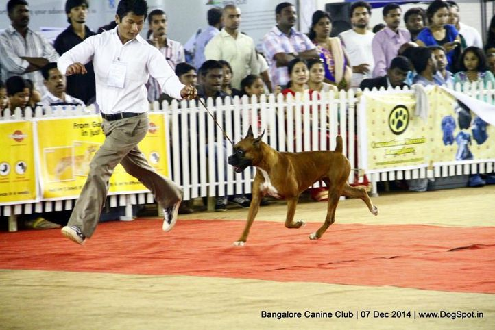 boxer,ex-244,sw-138,, Bangalore Canine Club 2014, DogSpot.in
