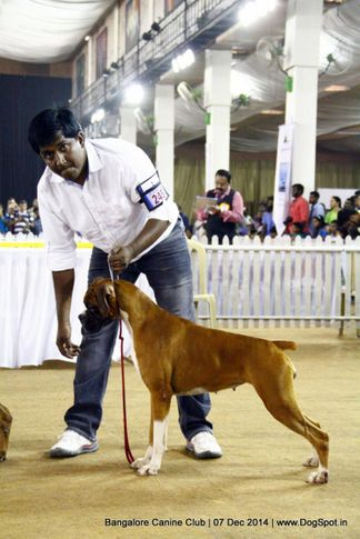 boxer,ex-245,sw-138,, Bangalore Canine Club 2014, DogSpot.in