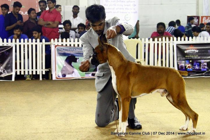 boxer,ex-246,sw-138,, Bangalore Canine Club 2014, DogSpot.in