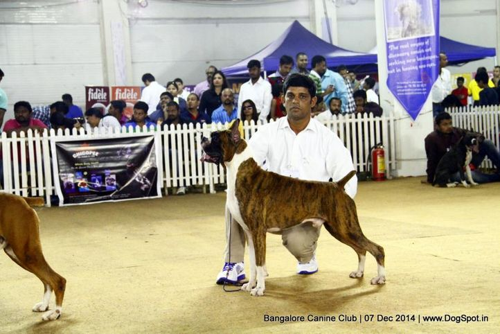 boxer,ex-247,sw-138,, Bangalore Canine Club 2014, DogSpot.in