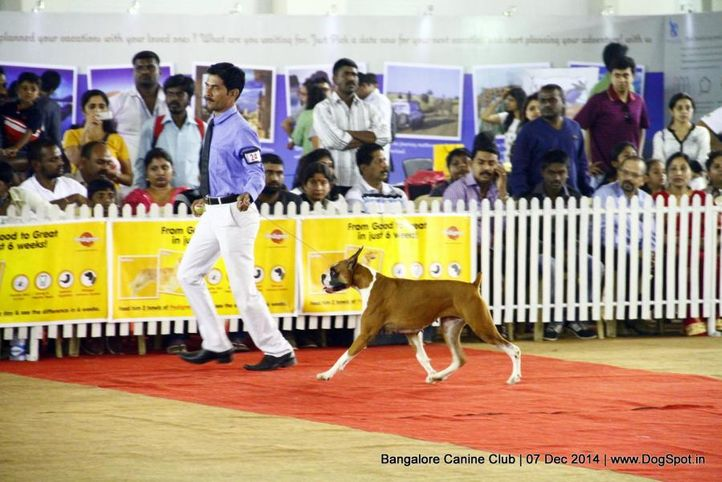 boxer,sw-138,, Bangalore Canine Club 2014, DogSpot.in