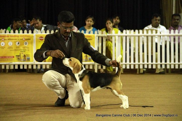 beagle,ex-66,sw-138,, Bangalore Canine Club 2014, DogSpot.in