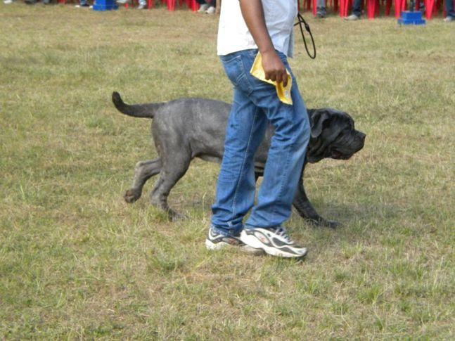Pryssy, Bangalore Canine Club Dog Show 21st Nov 2009, DogSpot.in