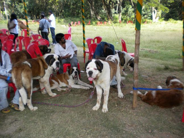 St. Bernard, Bangalore Canine Club Dog Show 21st Nov 2009, DogSpot.in