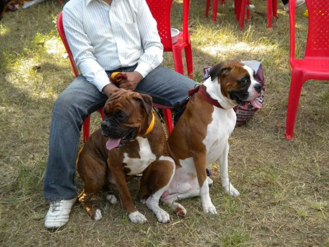 Great Dane, Bangalore Canine Club Dog Show 21st Nov 2009, DogSpot.in