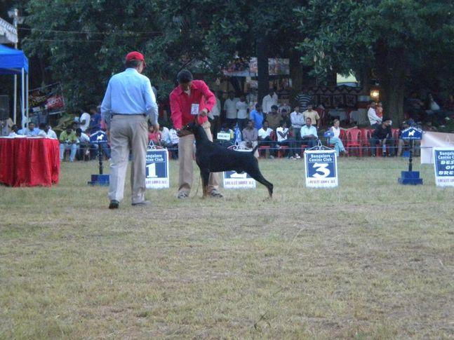 Dobermann, Bangalore Canine Club Dog Show 21st Nov 2009, DogSpot.in