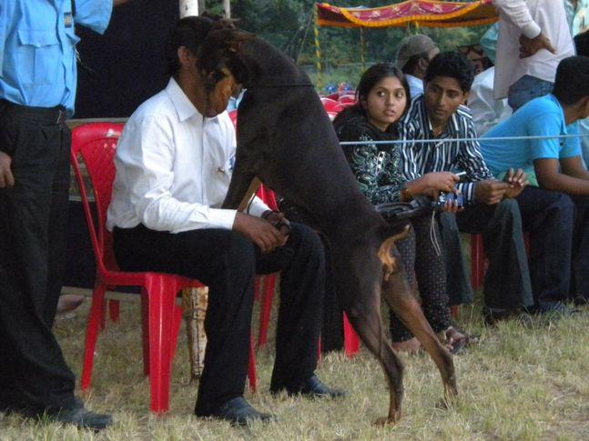 Dobermann, Bangalore Canine Club Dog Show 21st Nov 2009, DogSpot.in