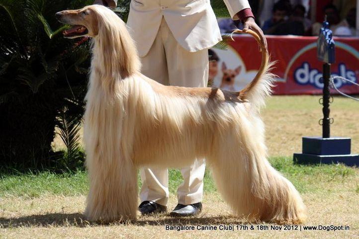 afghan hound,ex-69,sw-69,, PE. JCH. PE. CH. LAT. GCH. PE. CH. EC. CH. CO. UROS OF DEGA AFGHANS, Afghan Hound, DogSpot.in