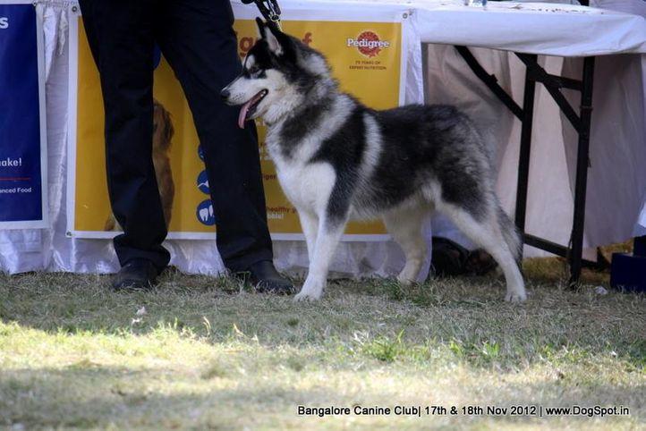ex-415,siberian husky,sw-69,, GRAY MAN PASSIONI, Siberian Husky, DogSpot.in