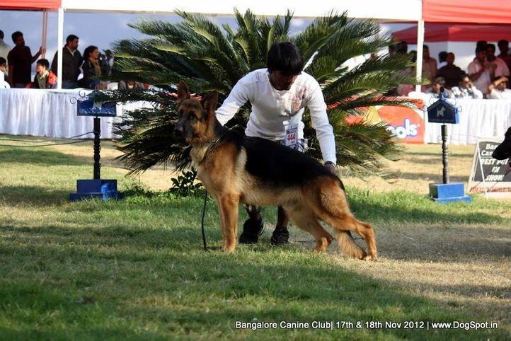 ex-444,german shepherd,sw-69,, VINMINS BOCACCIO, German Shepherd Dog, DogSpot.in