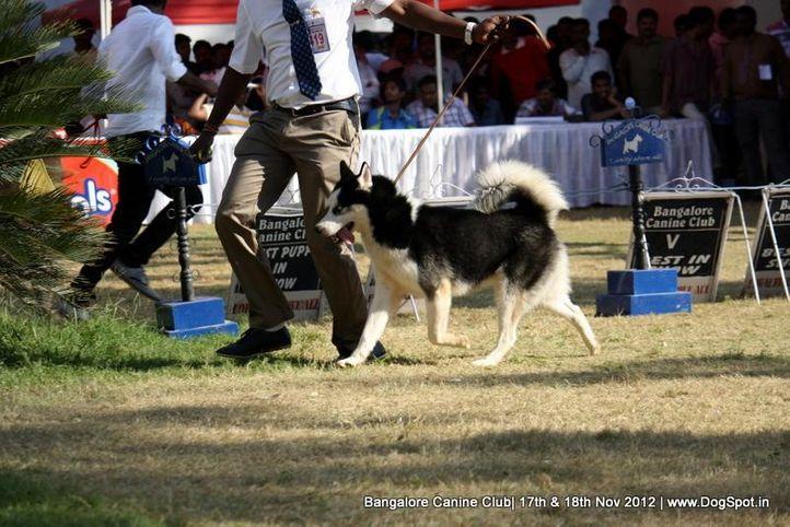 ex-419,siberian husky,sw-69,, AXLE, Siberian Husky, DogSpot.in