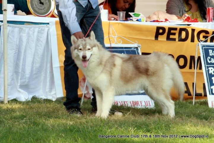 ex-421,siberian husky,sw-69,, SPANDAN'S GAME CHANGER, Siberian Husky, DogSpot.in