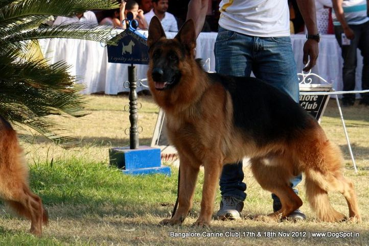ex-447,german shepherd,sw-69,, CH SWAPNILS JACK, German Shepherd Dog, DogSpot.in