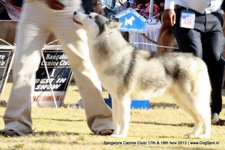 siberian husky,sw-69,, Bangalore Dog Show 2012 , DogSpot.in