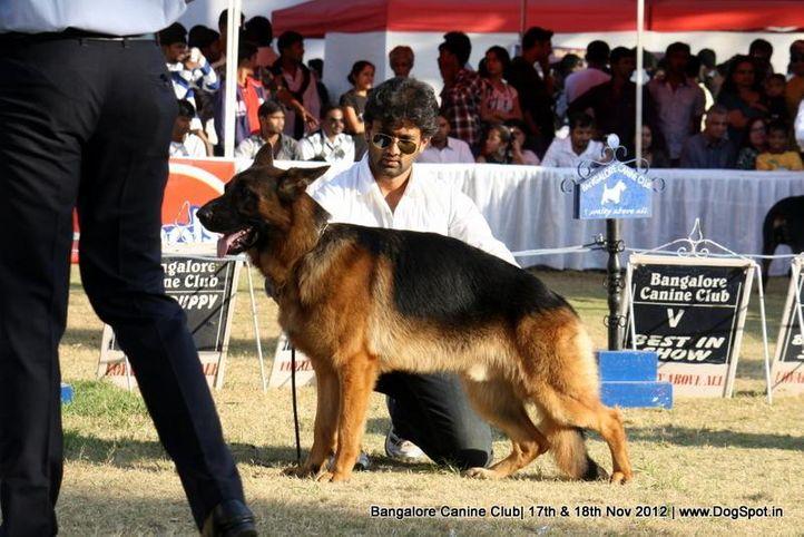 ex-448,german shepherd,sw-69,, COUGAR VOM WOLFENHAUS, German Shepherd Dog, DogSpot.in