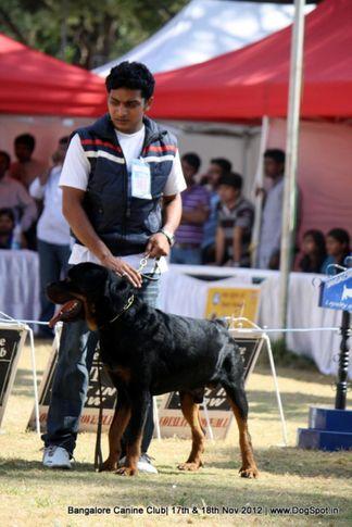 ex-369,rottweiler,sw-69,, BLACKSPOT, Rottweiler, DogSpot.in