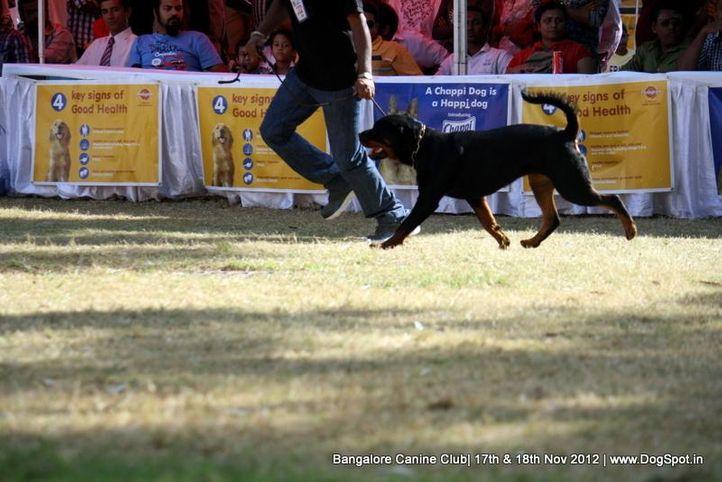 ex-382,rottweiler,sw-69,, GOLDLAND'S ANY, Rottweiler, DogSpot.in