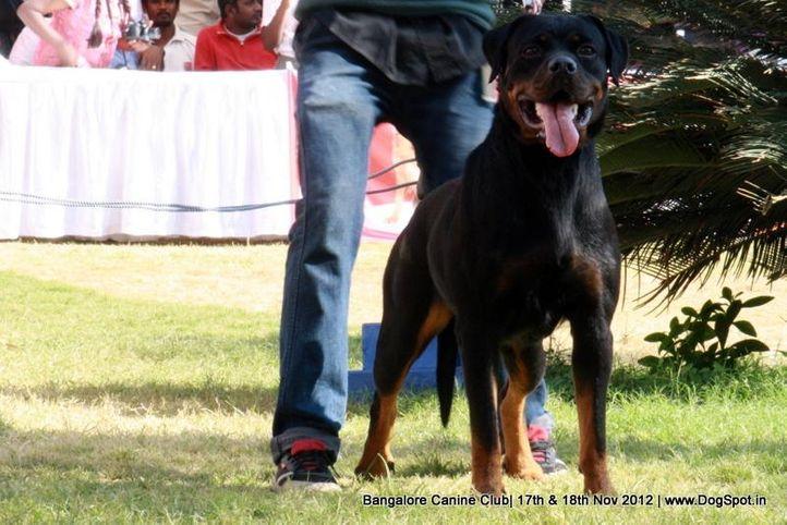ex-383,rottweiler,sw-69,, ZORRO'S VANDA, Rottweiler, DogSpot.in