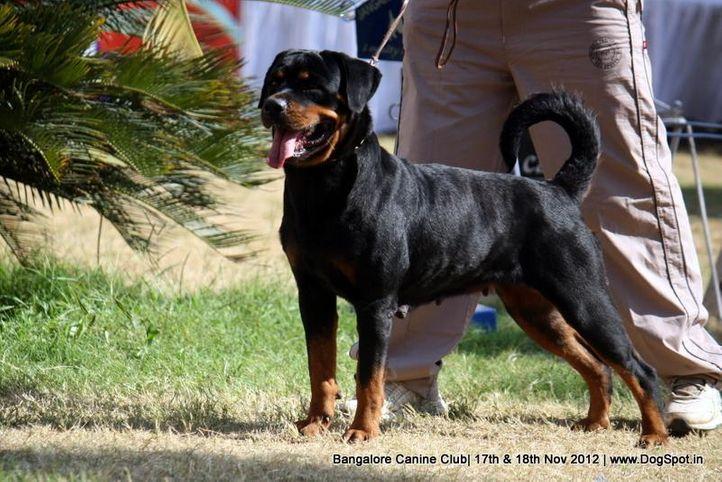 ex-386,rottweiler,sw-69,, SUNDEV'S BOAA, Rottweiler, DogSpot.in