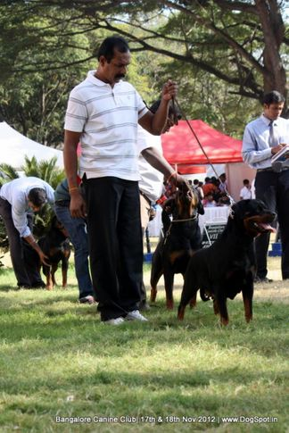 ex-387,rottweiler,sw-69,, OXANA KING OF THE EAST, Rottweiler, DogSpot.in