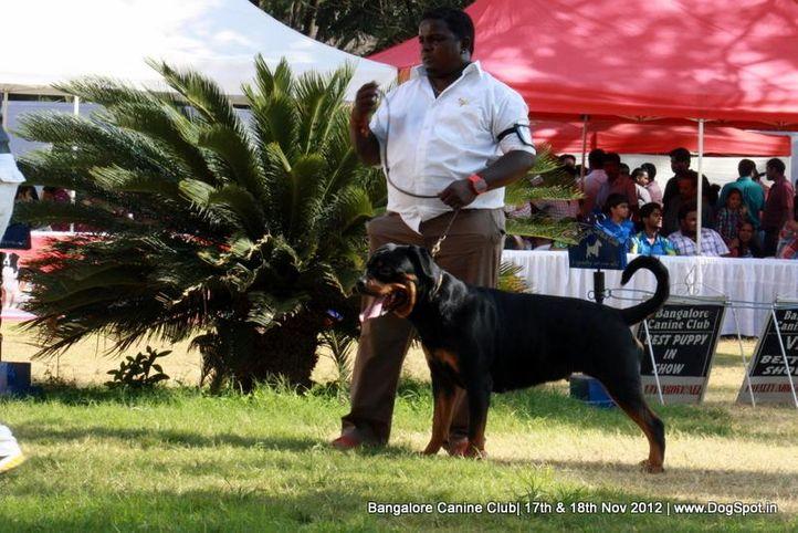 ex-390,rottweiler,sw-69,, SANYADORS JACQUET JIL, Rottweiler, DogSpot.in