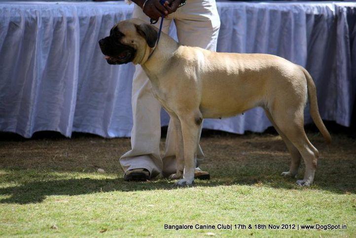 bull mastiff,ex-268,sw-69,, SPOTY WOLF'S CORINA APPENDIX, Bullmastiff, DogSpot.in