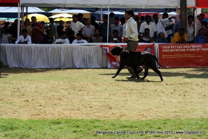 bull mastiff,ex-269,sw-69,, VOLMY BLACK MAGIS REAL, Bullmastiff, DogSpot.in