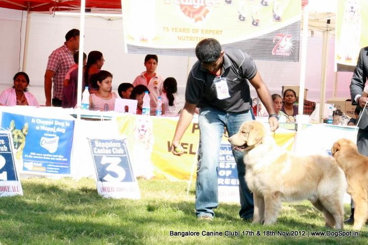 ex-140,golden retriever,sw-69,, FORTS ANGELS KING OF PEACE, Golden Retriever, DogSpot.in
