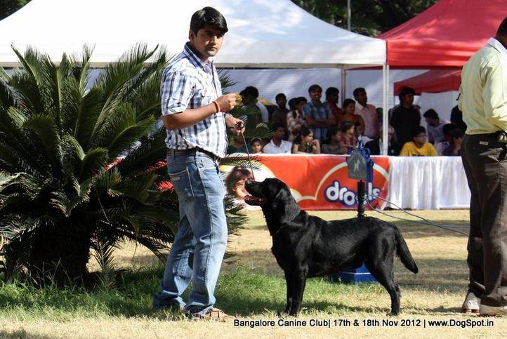 ex-179,labrador retriever,sw-69,, BLACK BUBBLE , Labrador Retriever, DogSpot.in
