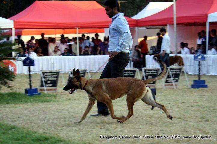 sw-69,ex-503 ,belgian shepherd dog, STEALTH PAWS ZULURINE, Belgian Shepherd Dog (Malinois), DogSpot.in