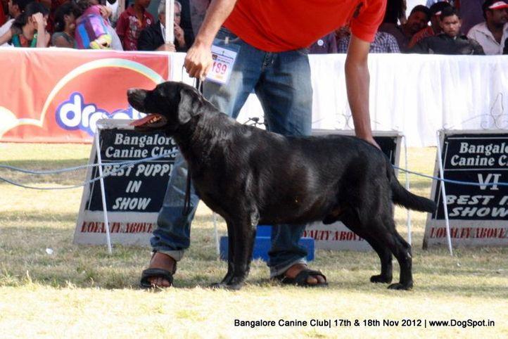 ex-189,labrador retriever,sw-69,, GRINOH., Golden Retriever, DogSpot.in