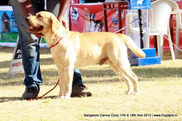 ex-196,labrador retriever,sw-69,, VALLIS GOLDEN KEY., Labrador Retriever, DogSpot.in