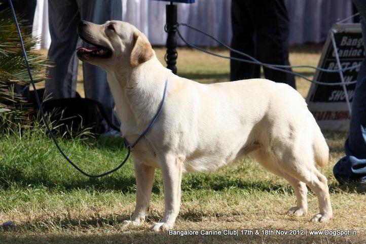 ex-204,labrador retriever,sw-69,, BRIGHTWAYS NANCY, Labrador Retriever, DogSpot.in