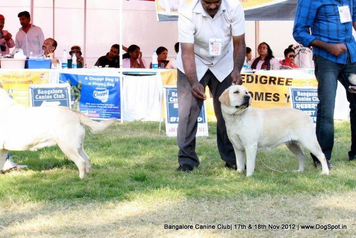 ex-209,labrador retriever,sw-69,, DILYS WILD ORCHID., Labrador Retriever, DogSpot.in