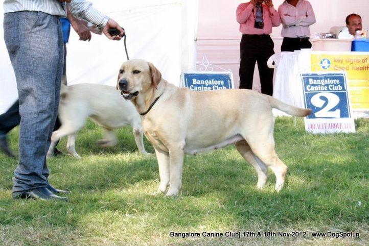 ex-213,labrador retriever,sw-69,, BORKAZNOVOVESKYCH LUCIN, Labrador Retriever, DogSpot.in