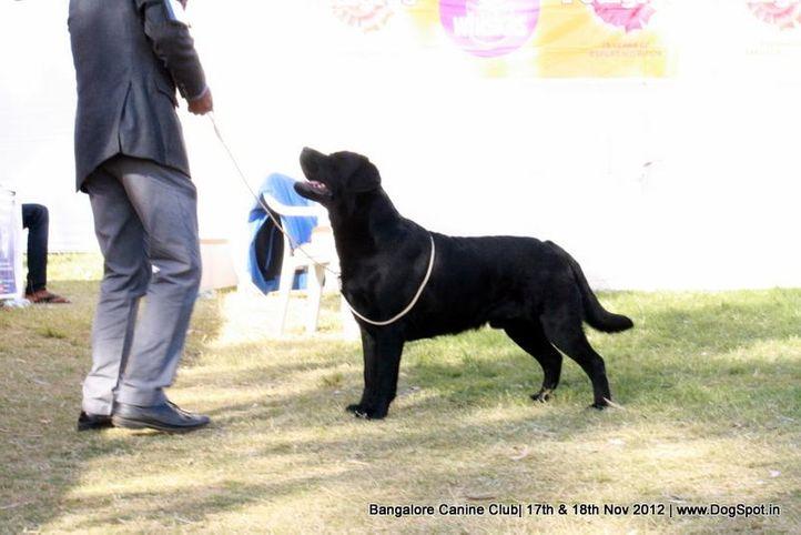 ex-215,labrador retriever,sw-69,, RENTAS ASTONISHING TOPAZ, Labrador Retriever, DogSpot.in