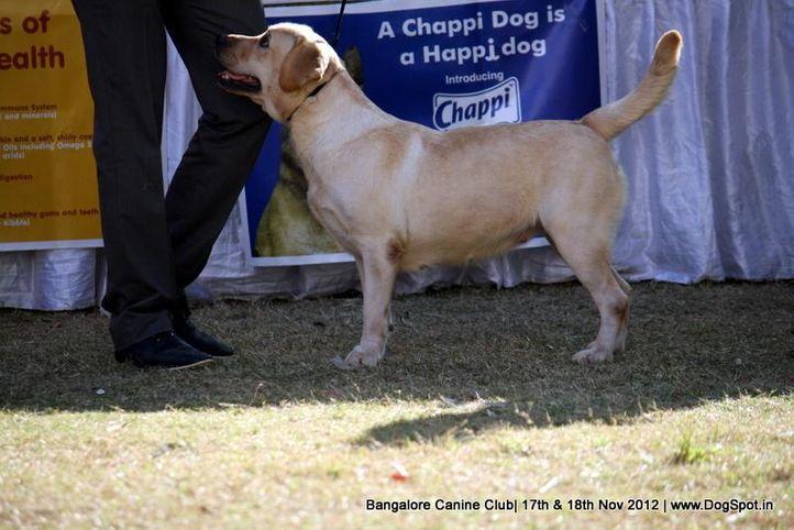 ex-218,labrador retriever,sw-69,, QUEEN MARY OD HIMALAJSKEHO CEDRU, Labrador Retriever, DogSpot.in