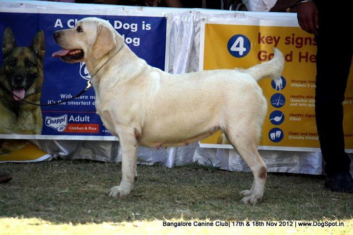 ex-223,labrador retriever,sw-69,, GRACY, Labrador Retriever, DogSpot.in
