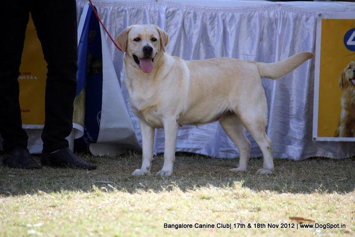 ex-225,labrador retriever,sw-69,, KATRINA, Labrador Retriever, DogSpot.in