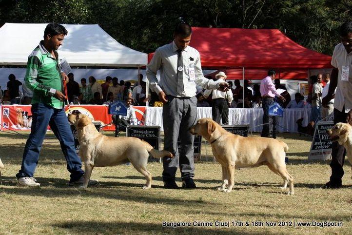 labrador retriever,sw-69,, Bangalore Dog Show 2012 , DogSpot.in