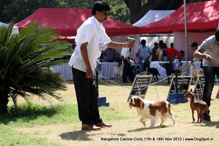 cavalier king charles spaniel,ex-2,sw-69,, IND CH LALIJJS BABBLERS AMARETTO, Cavalier King Charles Spaniel, DogSpot.in