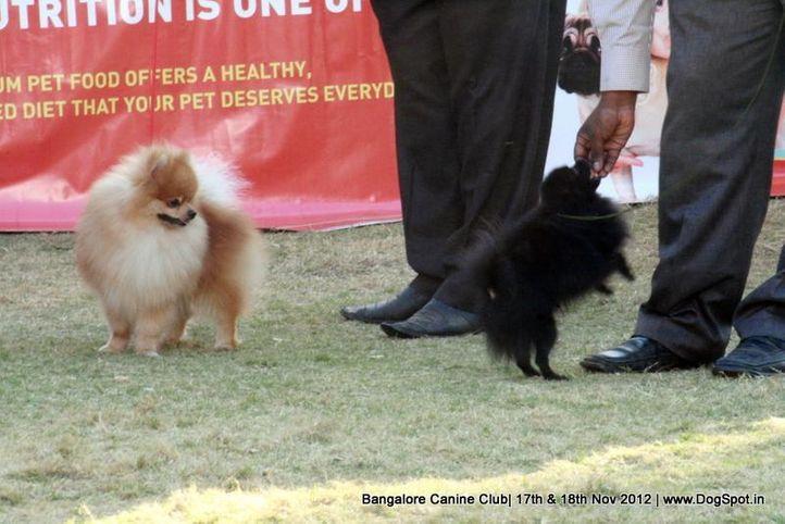pomeranian,sw-69,, Bangalore Dog Show 2012 , DogSpot.in