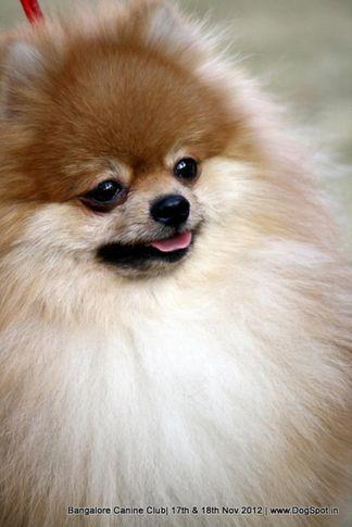 ex-12,pomeranian,sw-69,, BEAUTIFUL MAXI'S HERO 2 HERO, Pomeranian, DogSpot.in