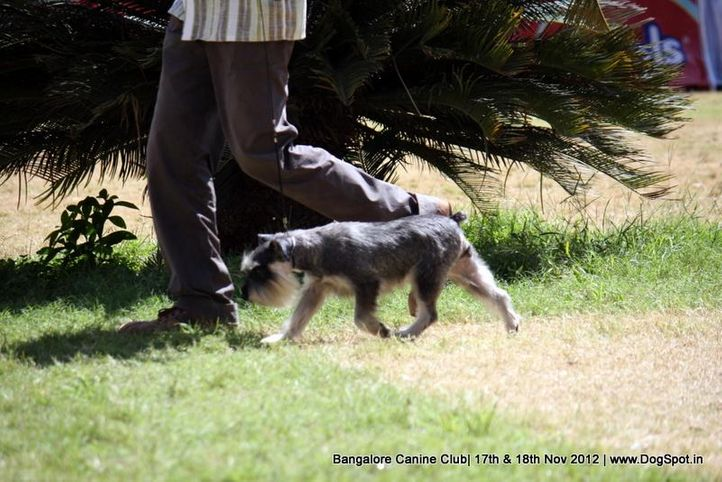 ex-52,miniature schnauzer,sw-69,, OWINS HOLLY WOOD, Miniature Schnauzer, DogSpot.in