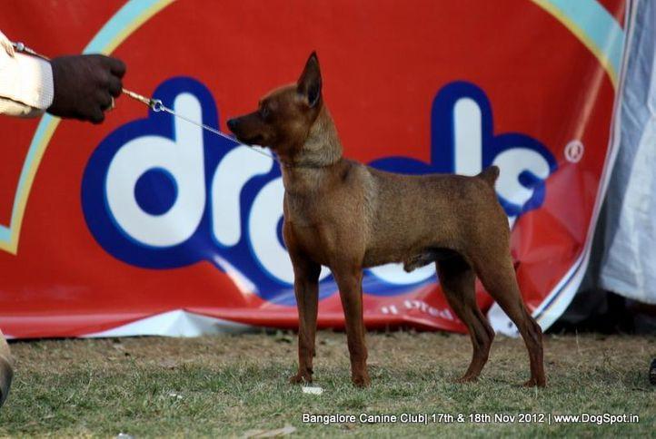 ex-7,miniature pinscher,sw-69,, BEETAL., Miniature Pinscher, DogSpot.in