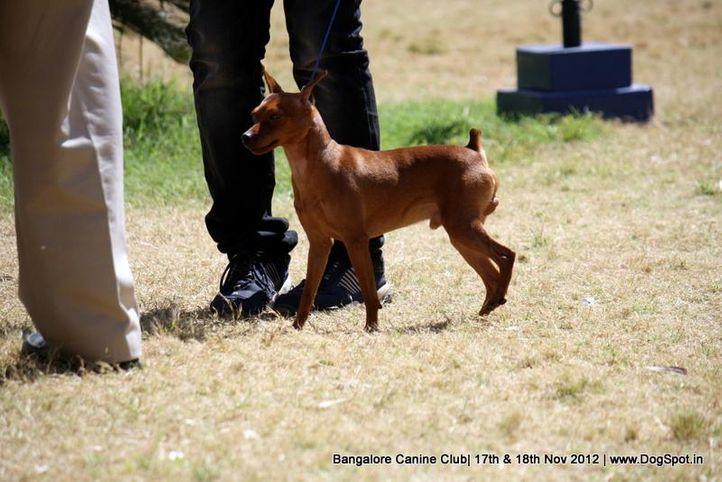 ex-8,miniature pinscher,sw-69,, BHALAAJI VIVA, Miniature Pinscher, DogSpot.in