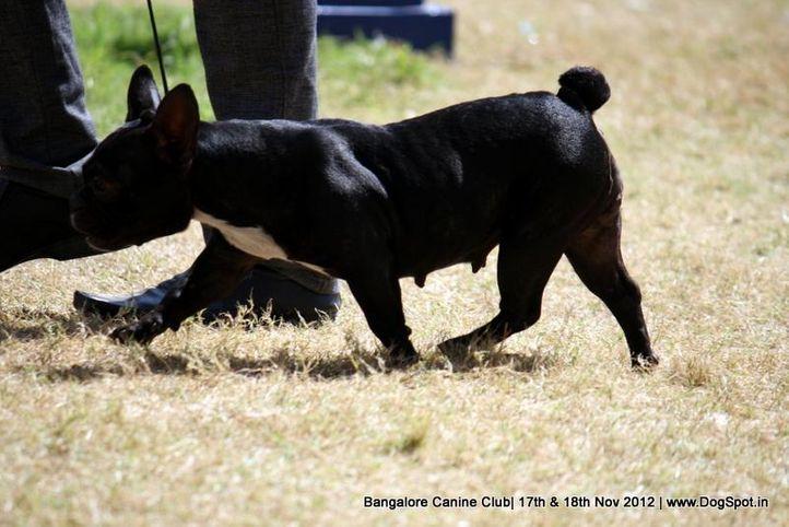 ex-49,french bull dog,sw-69,, NEMO., French Bull Dog, DogSpot.in