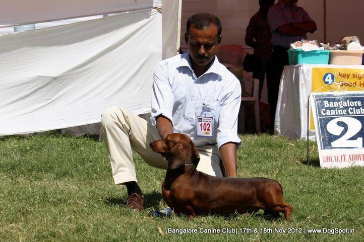 dachshund,ex-102,sw-69,, ALU ALLIYA, Dachshund Standard- Smooth Haired, DogSpot.in